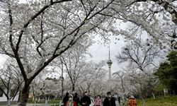 Cherry blossoms in Beijing's Yuyuantan Park