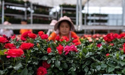 Flower planting industry in Yunnan helps boost locals' income