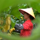 Farmers work at vegetable planting base in Hunan, C China
