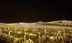 Light supplementing system introduced to dragon fruit planting bases in Longan, S China