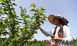 People pick mulberries at orchard in Feixi County, east China's Anhui